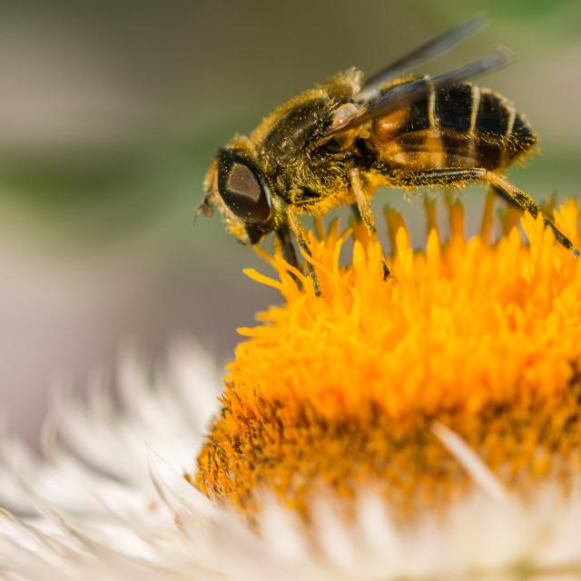 """""""Bee on helichrysum"""" stock image"""