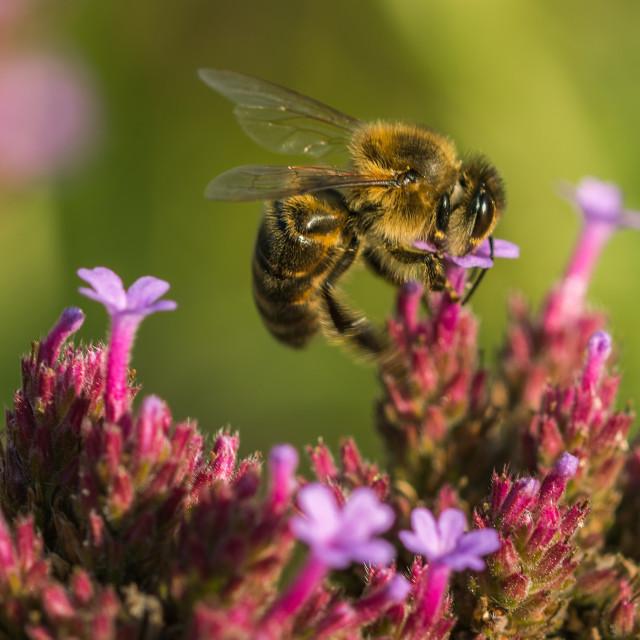 """Bee on verbena"" stock image"