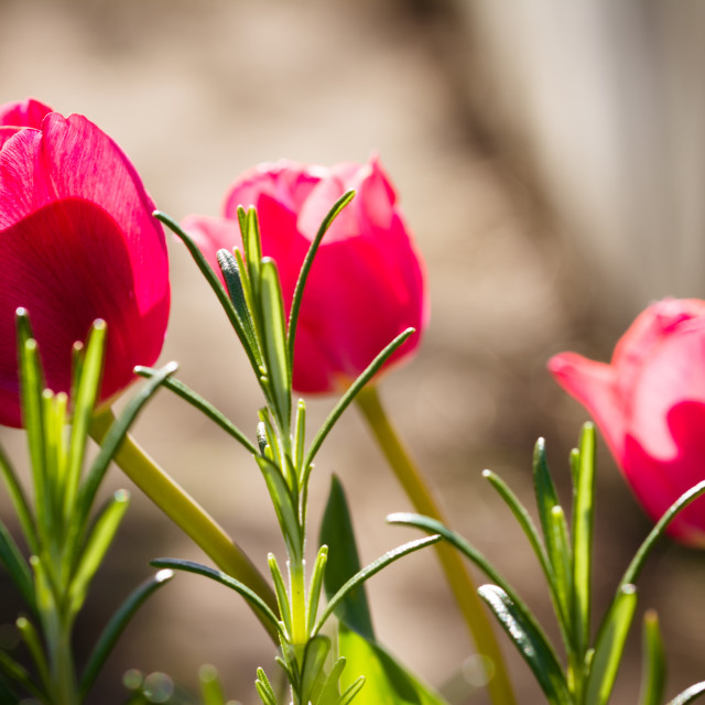 """Tulips in the sun"" stock image"
