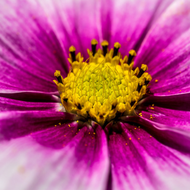 """Close up of a Cosmos flower"" stock image"