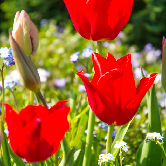 """Red Tulips in a meadow"" stock image"