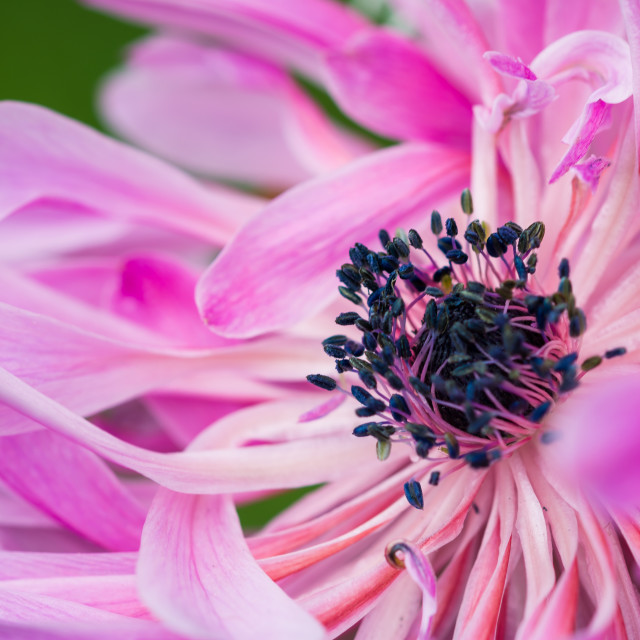 """Pink Anemone flower"" stock image"