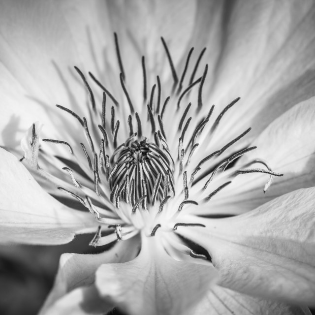 """Black and white Clematis flower"" stock image"