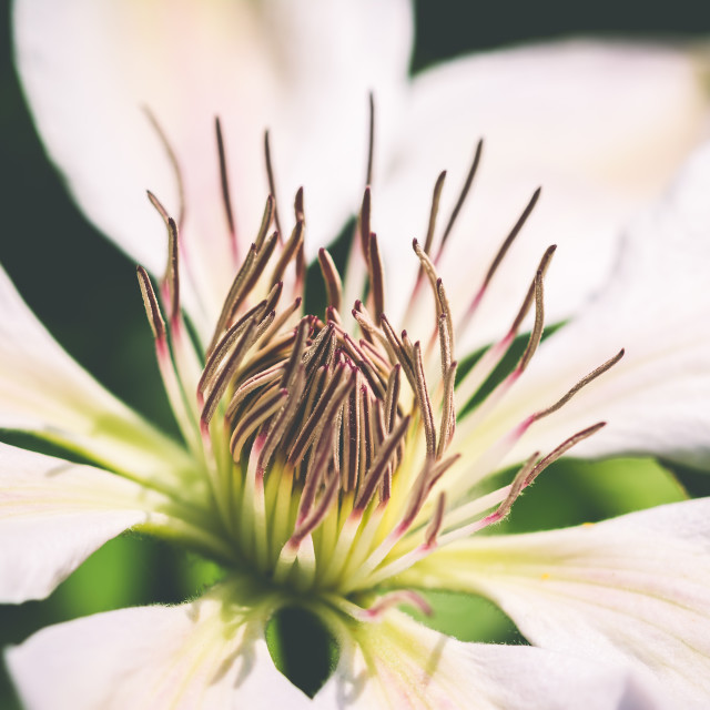 """White Clematis Flower"" stock image"