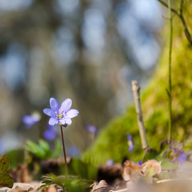 """Blossom blue anemone on a forest ground"" stock image"