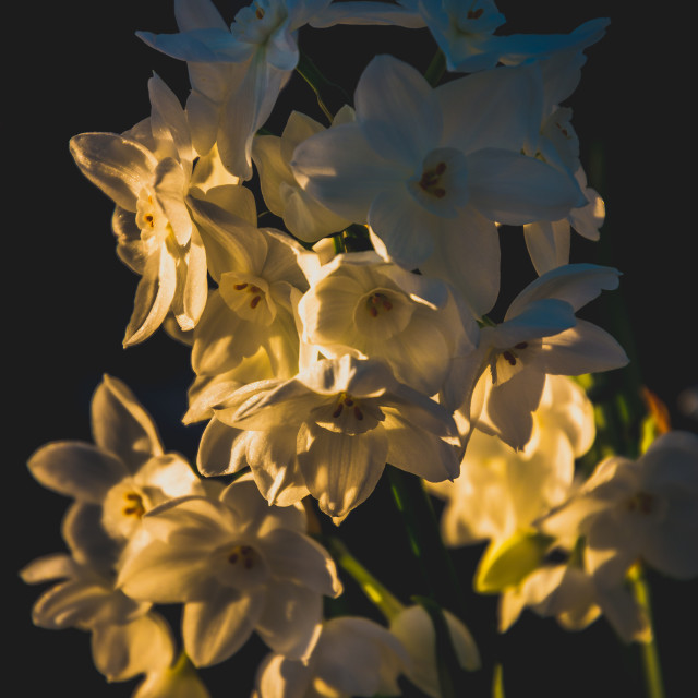 """Narcissus in light"" stock image"