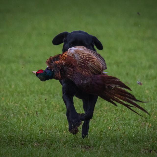 """labrador retrieving bird"" stock image"