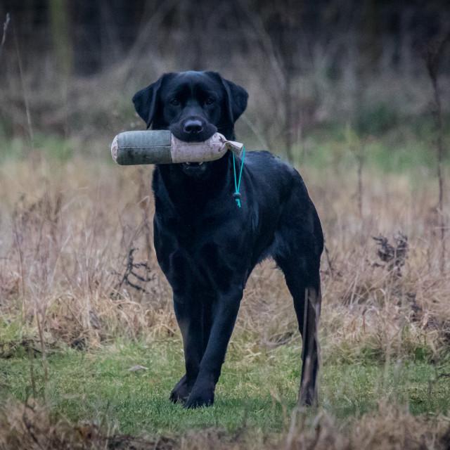 """""""Labrador retrieving dummy"""" stock image"""