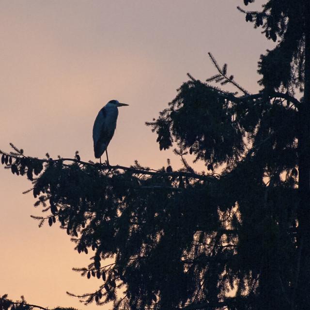 """""""Grey Heron at dusk"""" stock image"""
