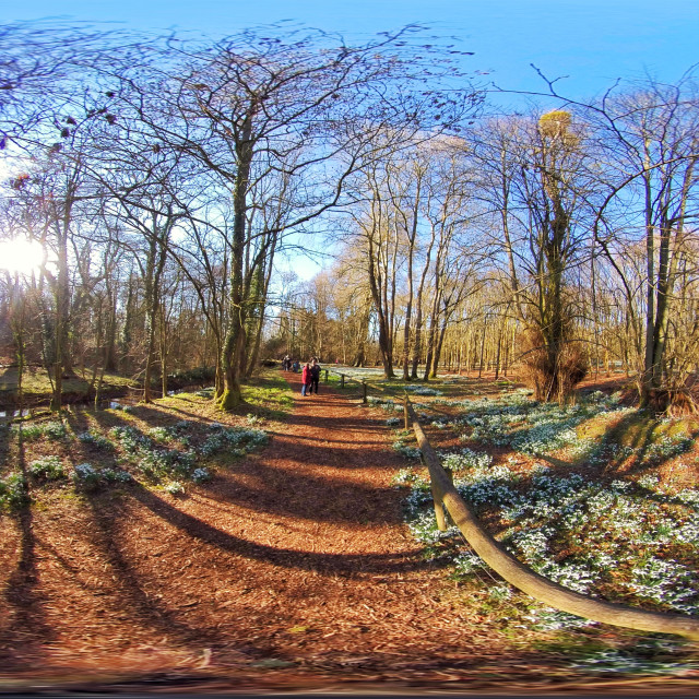 """""""Snowdrops in Welford Park (Equirectangular 360vr)"""" stock image"""