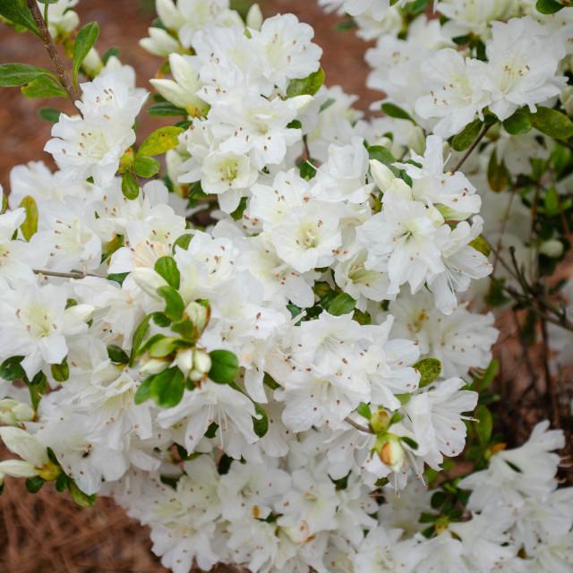 """""""White Azaleas in full bloom"""" stock image"""