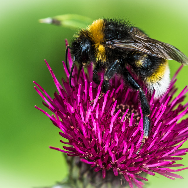 """""""Bee at work"""" stock image"""