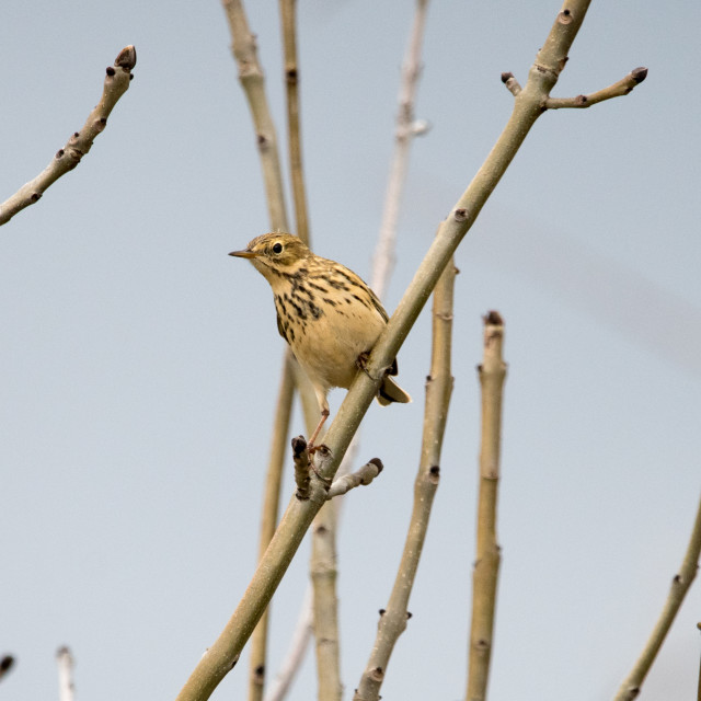 """Meadow Pipit"" stock image"