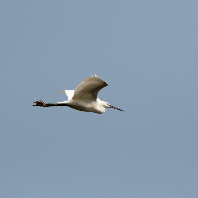 """""""Little Egret"""" stock image"""