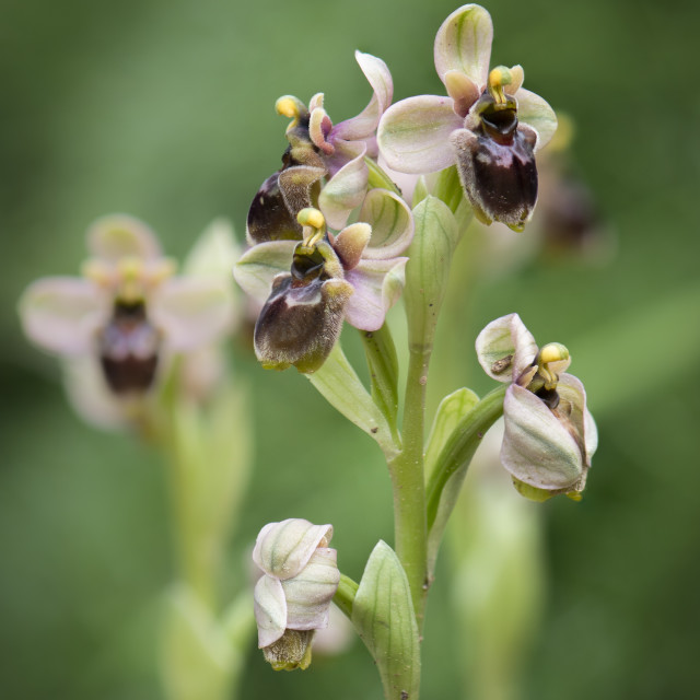 """""""hybrid orchid Ophrys x sommieri"""" stock image"""