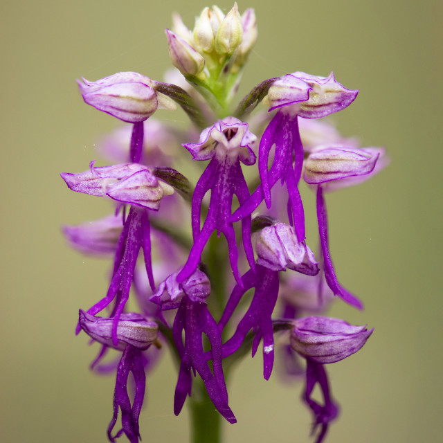 """""""Hybrid orchid, Orchis x bivonae"""" stock image"""