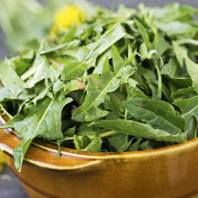 """Dandelion leaves for a salad"" stock image"