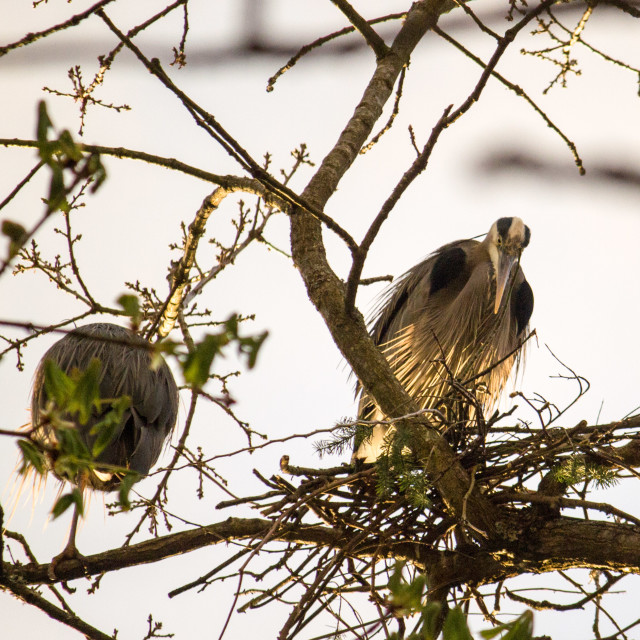 """""""great blue Heron keeping watch in nest"""" stock image"""