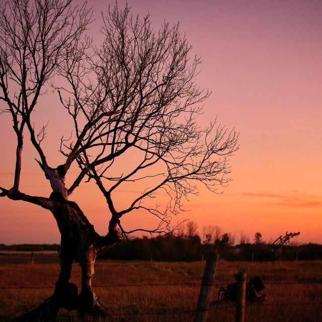 """""""An old gnarly bare tree sihouetted against a purple sunset in an autumn countryside landscape"""" stock image"""