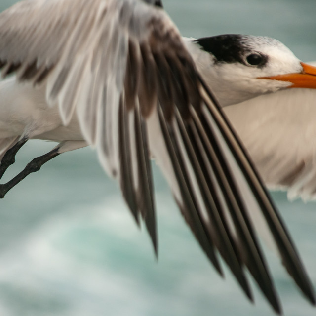 """Close-Up of Sea Gull Flying"" stock image"