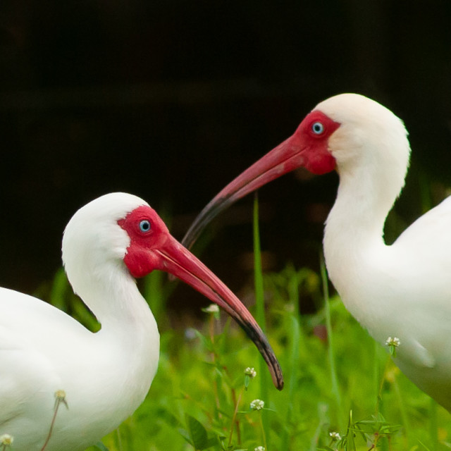 """Pair of White Ibis in Palm Beach, Florida"" stock image"