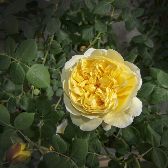 """""""Gorgeous double yellow rose flowers"""" stock image"""