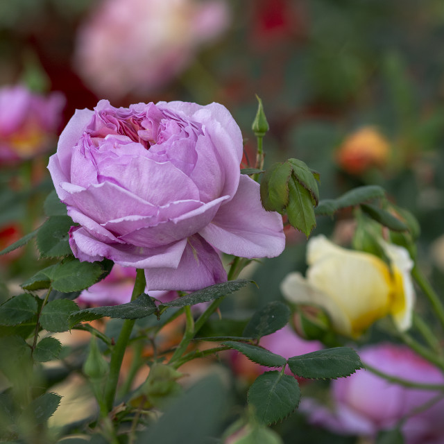 """Beautiful icy pink rose flower closeup"" stock image"