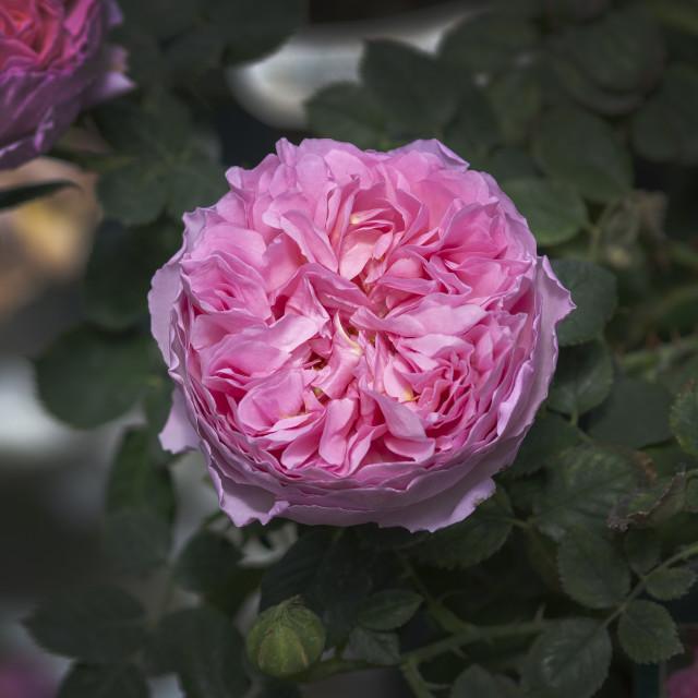"""Beautiful rose flowers closeup"" stock image"