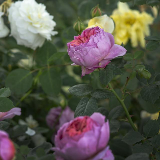 """Beautiful two-toned rose flowers closeup"" stock image"