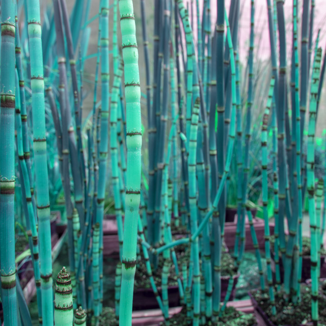 """""""Abstract bamboo grass toned in bright turquoise"""" stock image"""
