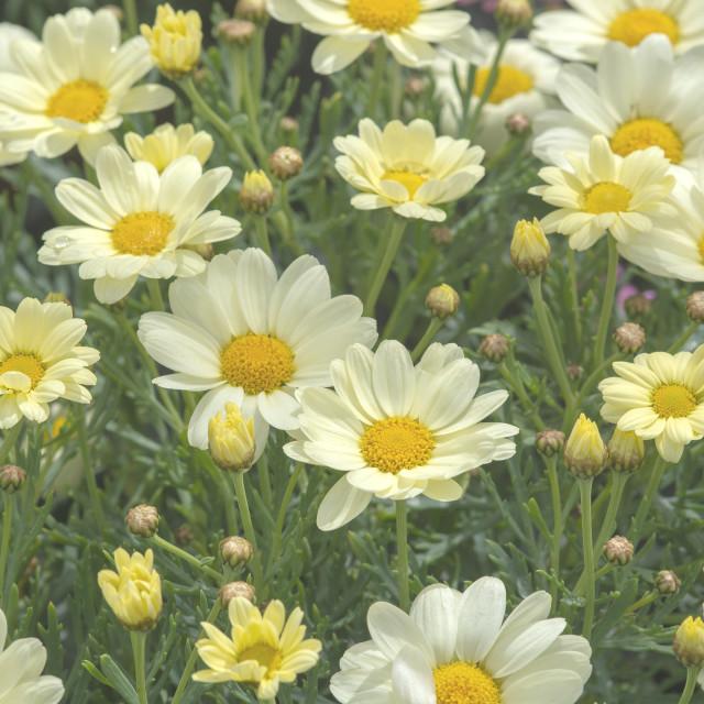 """White daisy flowers closeup"" stock image"