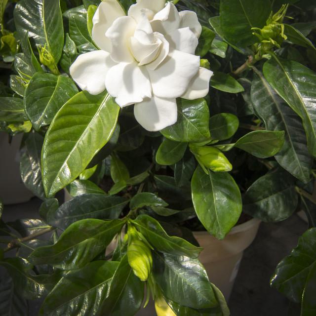 """Beautiful white gardenia flower closeup"" stock image"