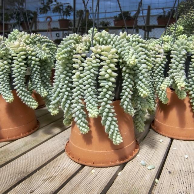 """""""Sedum plant Sedum burrito in large pots"""" stock image"""