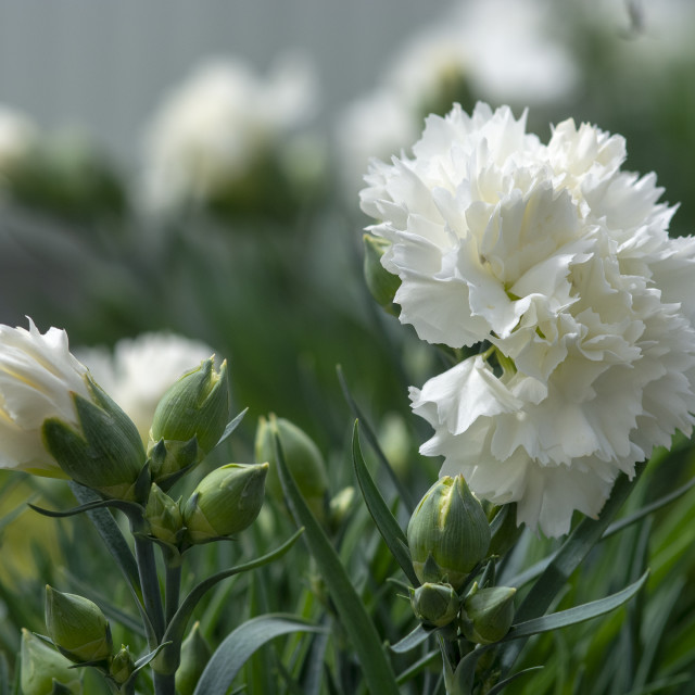 """White carnation flowers"" stock image"