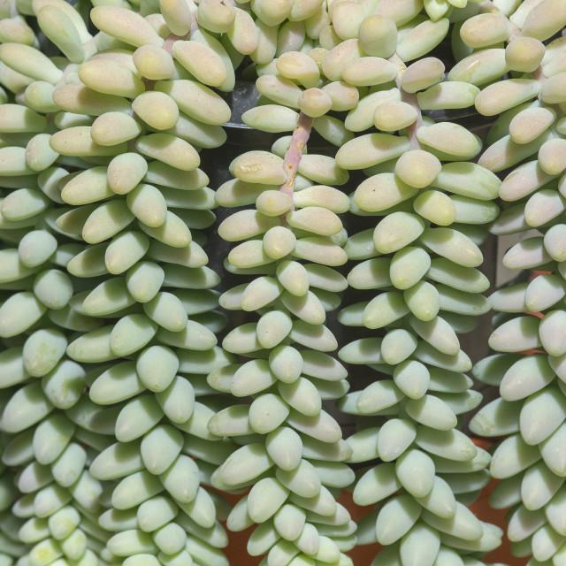 """Succulent sedum plants closeup"" stock image"