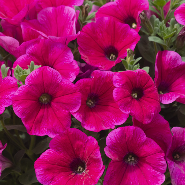 """Pink petunia flowers"" stock image"