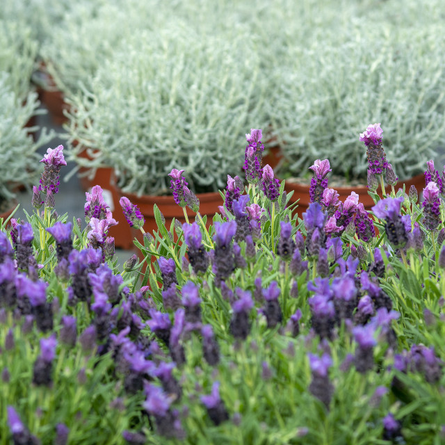 """Lavender purple flowers closeup"" stock image"