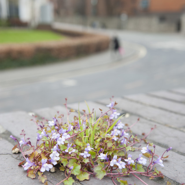 """""""Cymbalaria muralis - Ivy leaved toadflax growing from between the cracks between the bricks on a bridge Southampton City Centre, UK."""" stock image"""