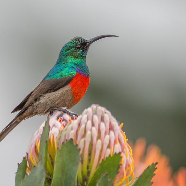 """Double collared sunbird"" stock image"