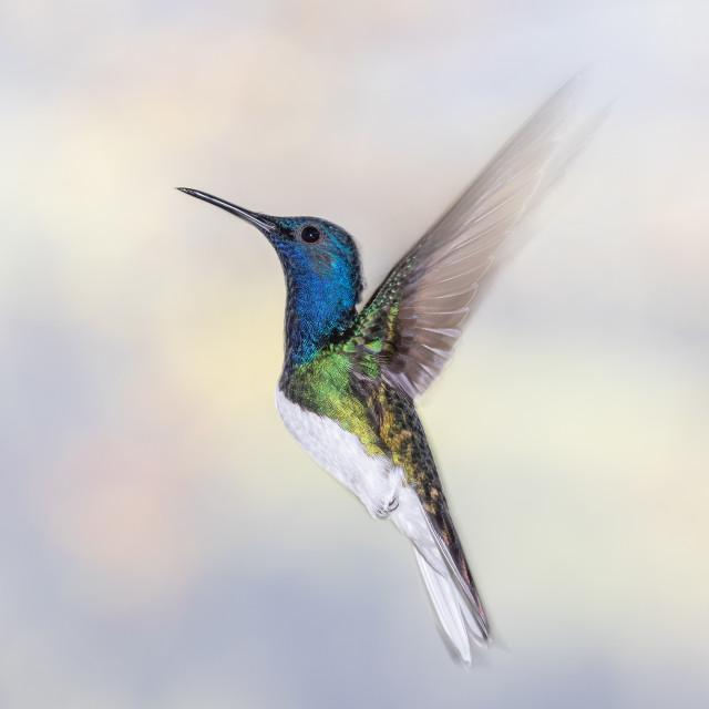 """White-necked Jacobin Hummingbird"" stock image"