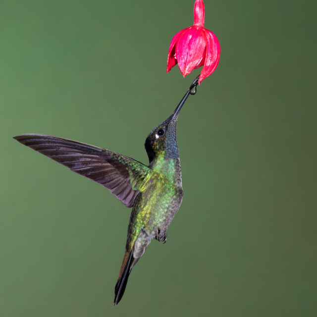 """Magnificent Hummingbird on flower"" stock image"