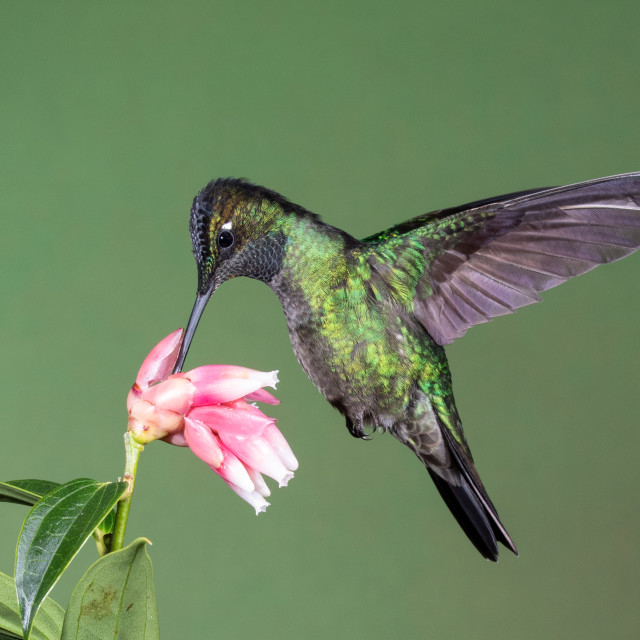 """Magnificent Hummingbird on flowers"" stock image"