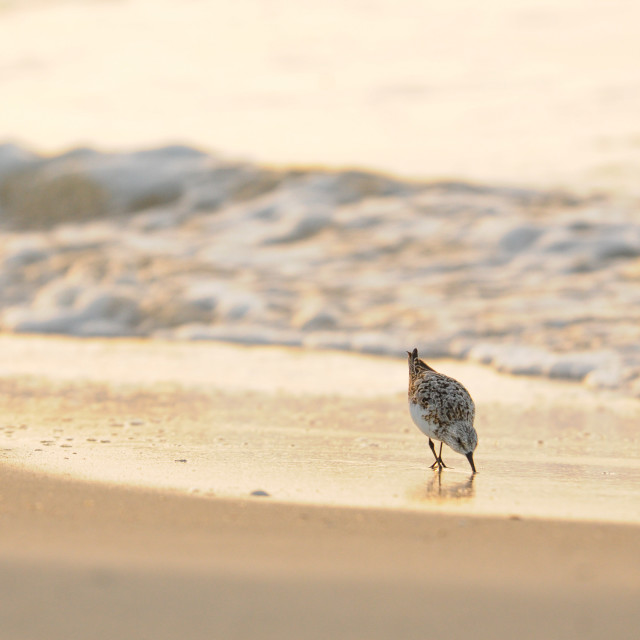 """A Piper Looking for an Early Morning Meal on the Beach"" stock image"
