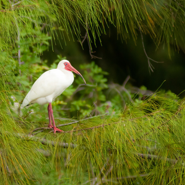 """White Ibis (Eudocimus albus) in South Florida"" stock image"