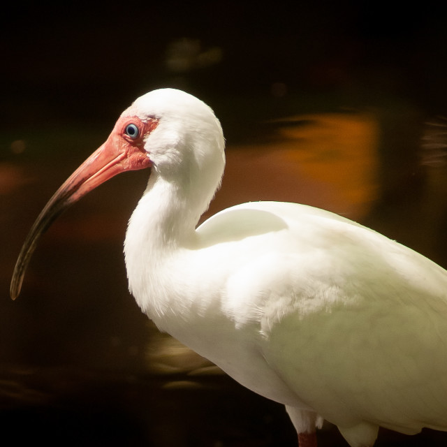 """White Ibis on the Hunt"" stock image"