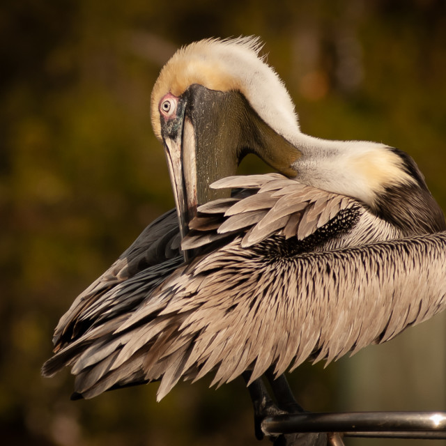 """Brown Pelican (Pelecanus occidentalis) Getting Ready to Face the Day"" stock image"