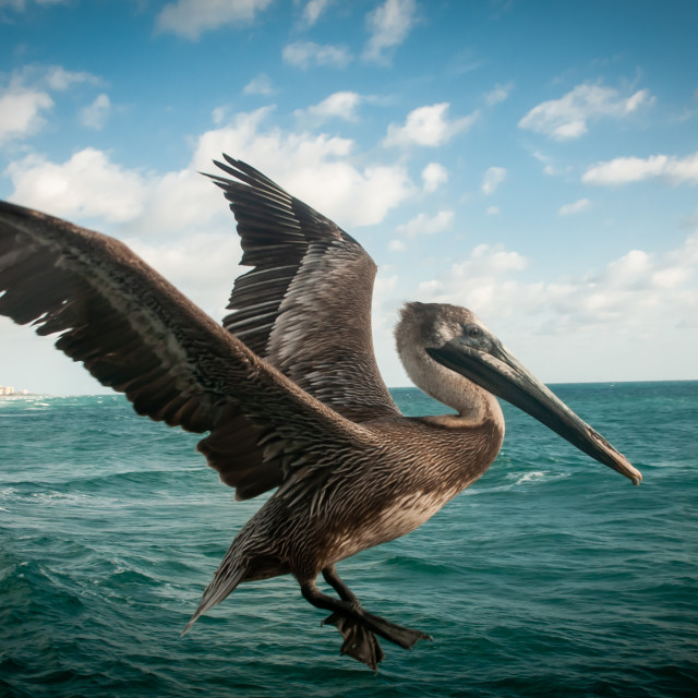 """Brown Pelican (Pelecanus occidentalis) on the Hunt for Morning Meal"" stock image"