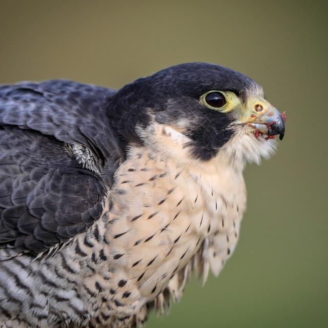 """Peregrine Falcon close-up"" stock image"