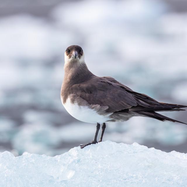 """Arctic Skua"" stock image"