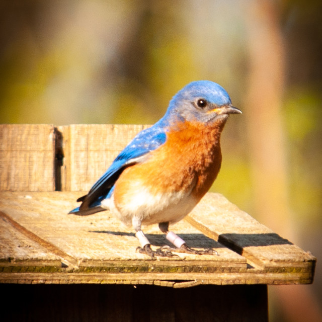 """""""Male Eastern Bluebird in the Spring (Sialia sialis)"""" stock image"""